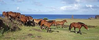 Easter Island - Horses