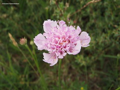 野の花 - Fiore di campo