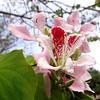 Bauhinia monandra II by Karen Blix