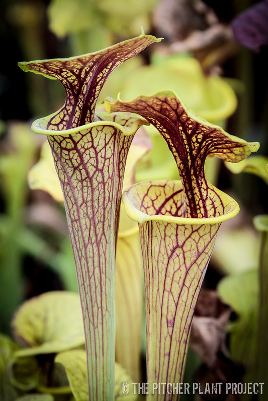 Sarracenia flava - Brunswick Co., NC