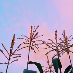 Sunset corn. My husband grew this. He's got the green thumb skills. I do not. #sunset #corn #sky #summer #summerishere #backyardfarming #gardening #abmlifeiscolorful #dslooking #dscolor #nothingisordinary #dreamysky #pink #clouds #myib #mybackyard