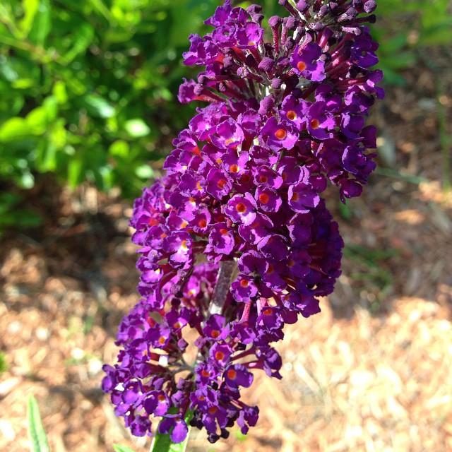 Black Knight butterfly bush in the back yard.