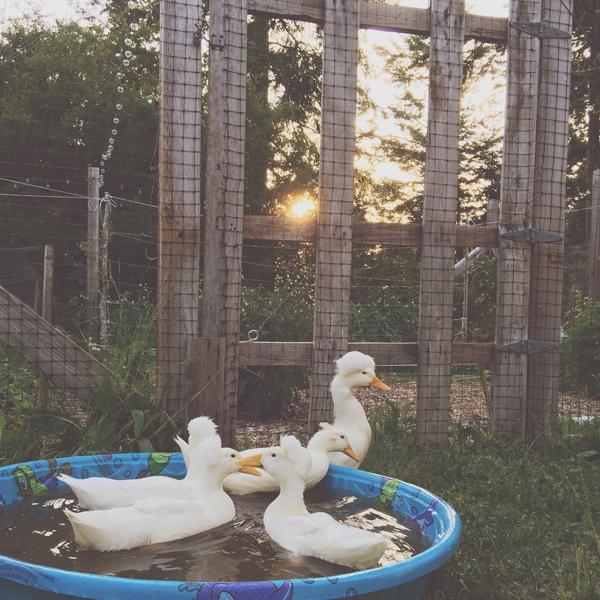 sara's ducks