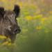 Wild zwijn,Wild boar (Sus scrofa) by geishatara