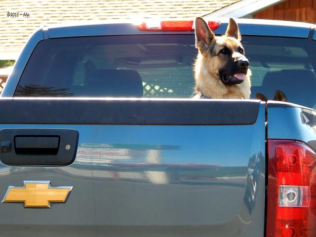 German Shepherd in Back of Chevy Pickup Truck