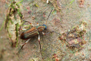 Darkling beetle (Strongylium sp.) - DSC_5488