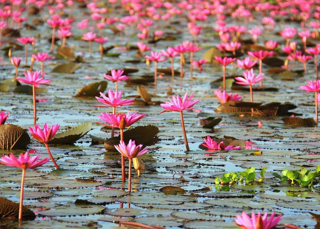 The Red Lotus Sea is very popular among the Thai tourists