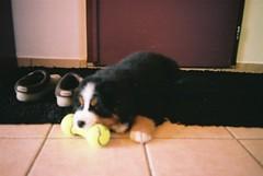 animal(1.0), puppy(1.0), dog(1.0), pet(1.0), bernese mountain dog(1.0), carnivoran(1.0),