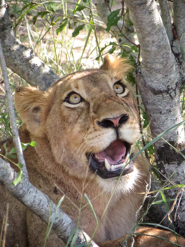 A wide eyed lioness