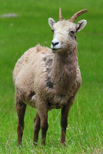 IMG_0360 Bighorn Sheep