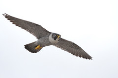 Peregrine Falcon, Manchester IMG_0205a