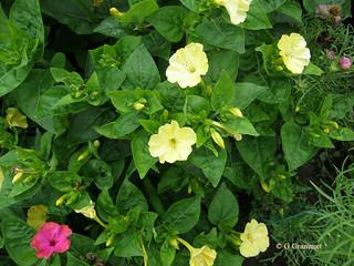 Mirabilis-Jalapa-geel