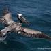 Pelican by FreeSpirit5