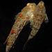 Painted Dragonet (Eocallionymus papilio) by Brian Mayes