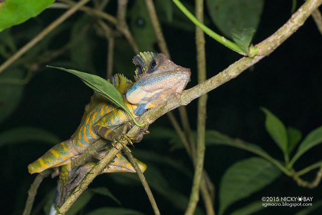 Great anglehead lizard (Gonocephalus grandis) - DSC_5689