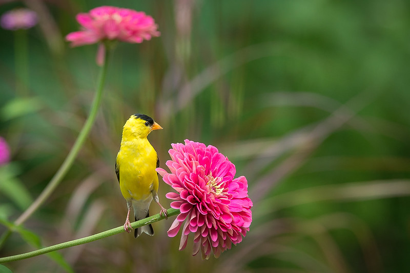 Goldfinch and Zinnia