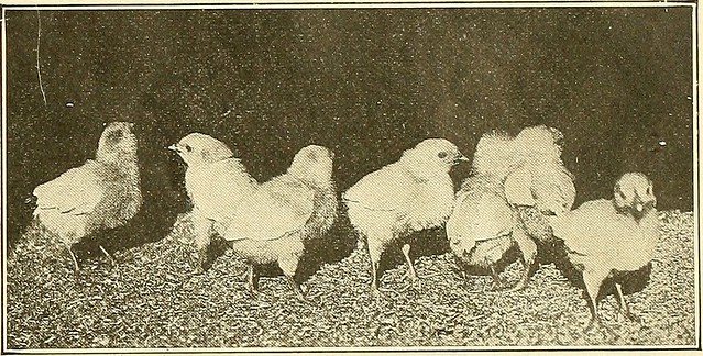 """Image from page 108 of """"Artificial incubating and brooding;"""" (1919)"""