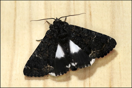 Traça (Catephia alchymista) - The Alchymist Moth