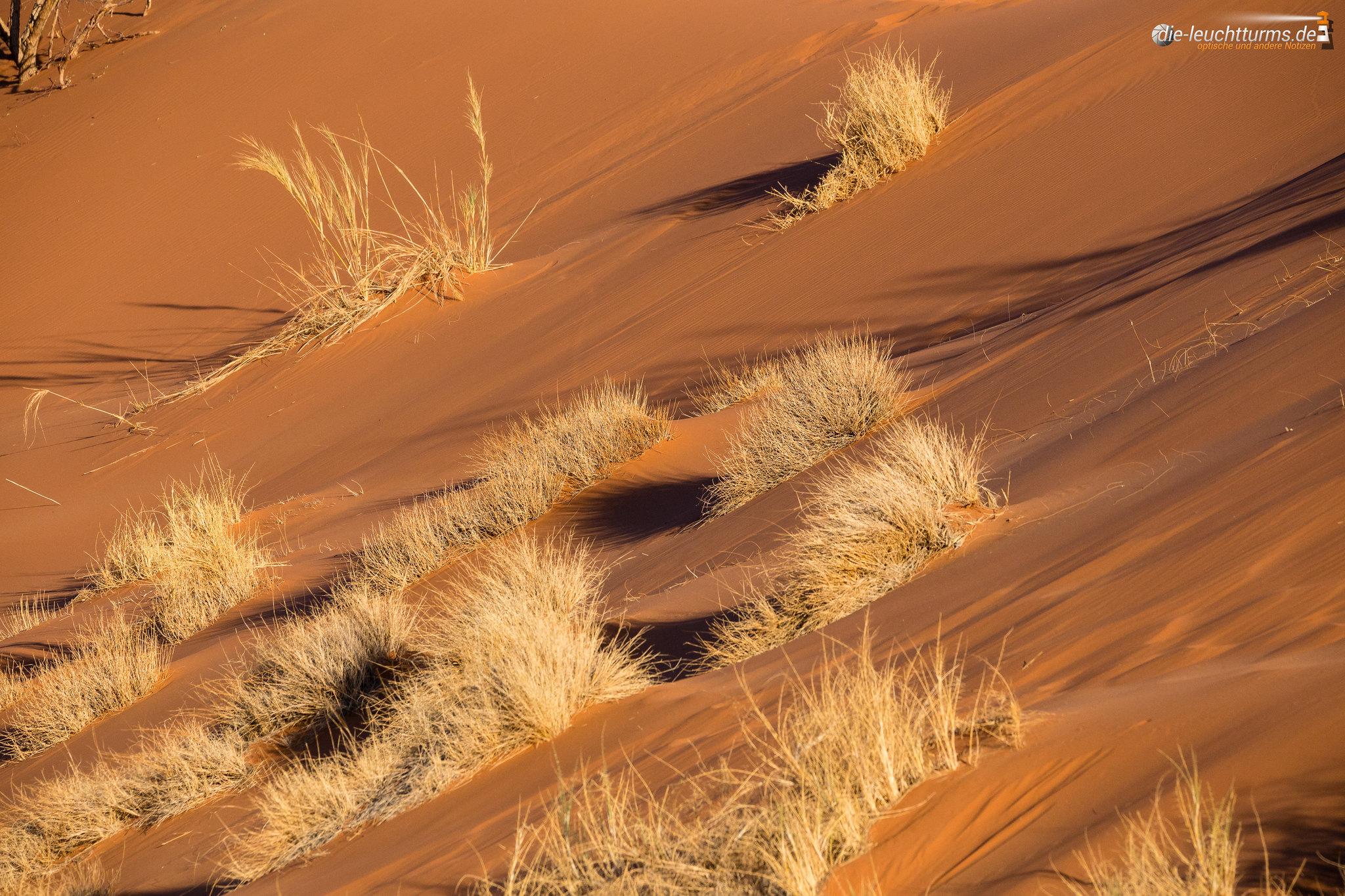 Dune sedge