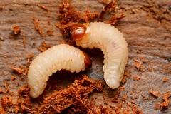 Pissodes cfr pini larvae
