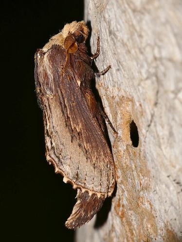 bhubesi hlane swaziland truncatelappet pachypasatruncata moth taxonomy:binomial=pachypasatruncata lasiocampidae