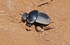 Dung Beetle (Scarabaeus sp.)