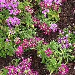 annual plant, shrub, flower, plant, breckland thyme, lilac, verbena, herb, wildflower, flora, groundcover,