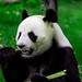 Panda by Tikenaxe