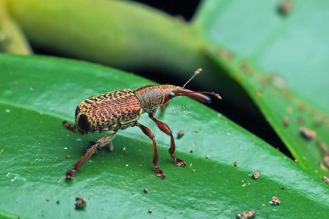 Weevil (Curculionidae)