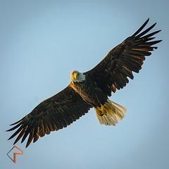 vulture(0.0), animal(1.0), hawk(1.0), bird of prey(1.0), falcon(1.0), eagle(1.0), wing(1.0), fauna(1.0), buzzard(1.0), bald eagle(1.0), accipitriformes(1.0), kite(1.0), beak(1.0), bird(1.0),