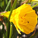 Daffodil (Narcissus obesus) flower