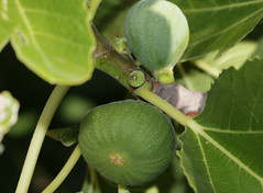 evergreen, leaf, tree, plant, common fig, macro photography, flora, green, fruit,