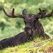 Alces alces / Elk / Лось / Elg by Svitlana Tkach