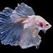 Halfmoon betta fish by da nokkaew