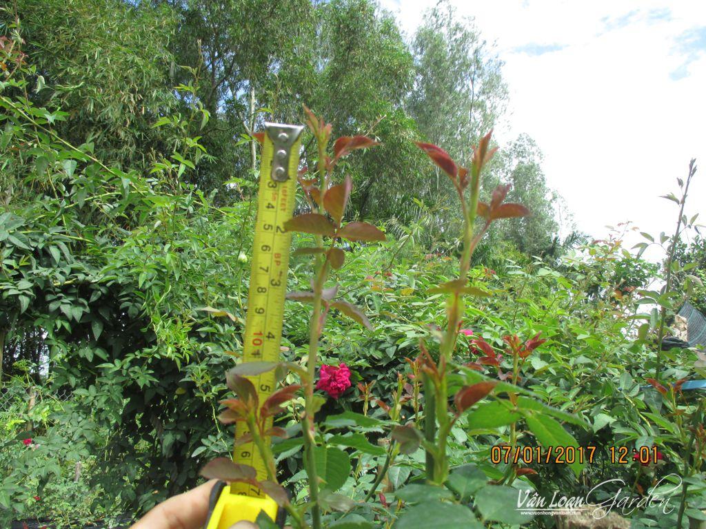 hoa hong leo abraham darby no hoa ngay tet (2)-vuonhongvanloan.com