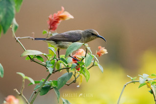 Variable Sunbird (Cinnyris venustus) female