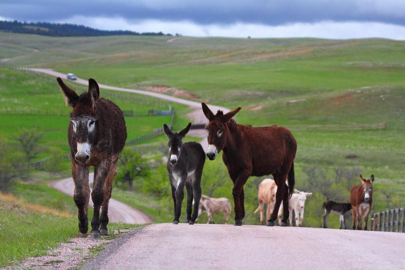 IMG_0079 Burros, Custer State Park