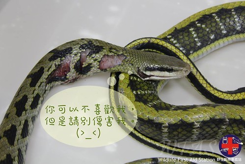 闖入民宅被打得遍體鱗傷的黑眉錦蛇。圖片來源:野生動物急救站。