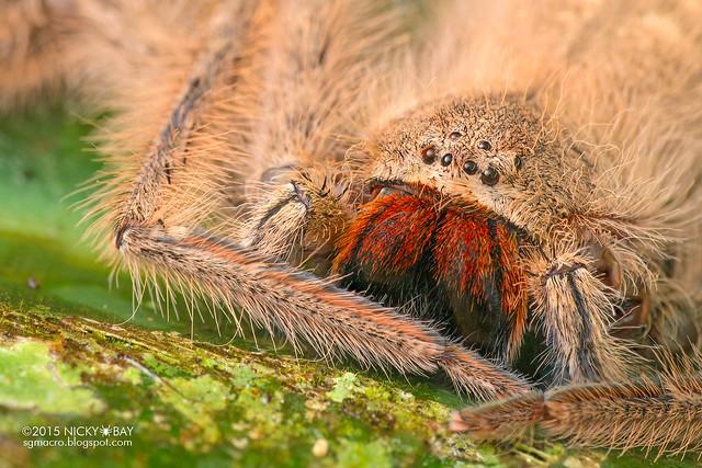 Huntsman spider (Heteropoda sp.) - DSC_3929