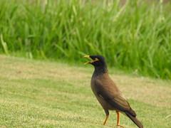 robin(0.0), blackbird(0.0), animal(1.0), fauna(1.0), common myna(1.0), beak(1.0), bird(1.0), wildlife(1.0),