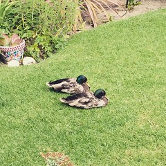 My parents have gay ducks