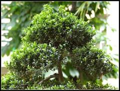 evergreen(0.0), shrub(0.0), produce(0.0), food(0.0), moss(0.0), branch(1.0), leaf(1.0), tree(1.0), houseplant(1.0), bonsai(1.0),