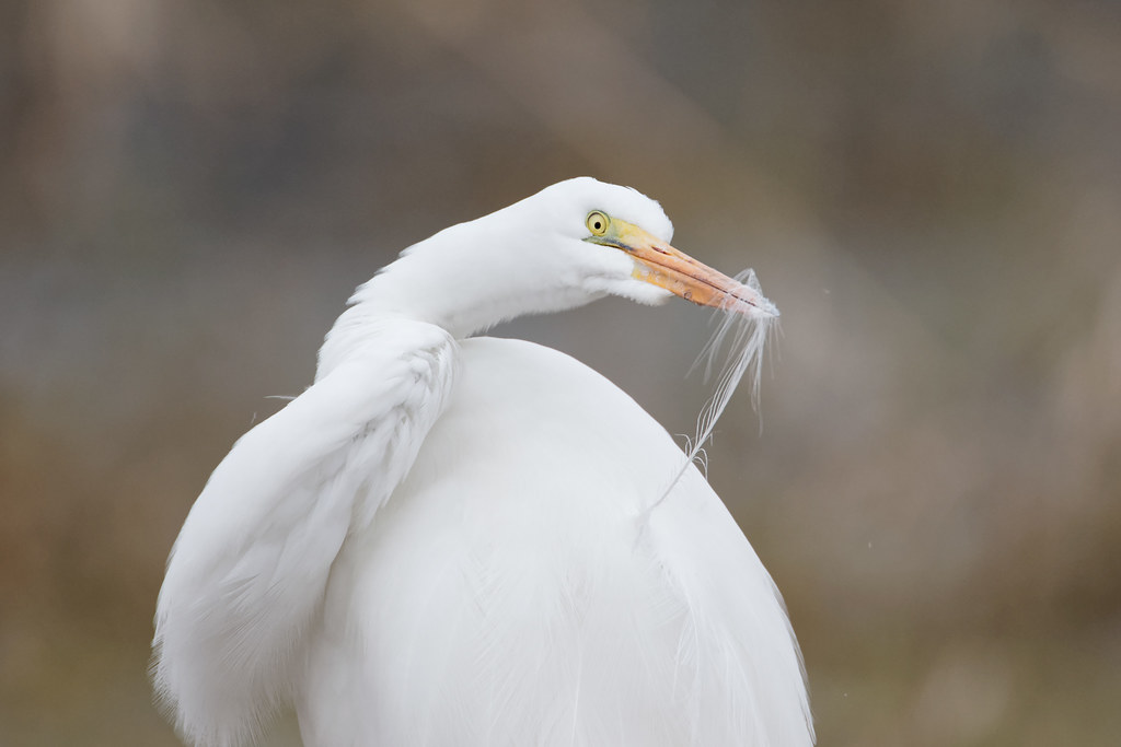 A great egret runs one of its feathers through its beak