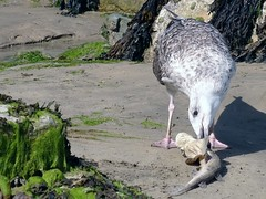 Young Herring Gull eating Dogfish, Newquay