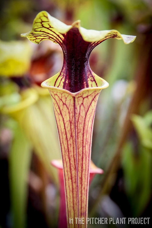 "Sarracenia flava ""Extreme Red Throat"""