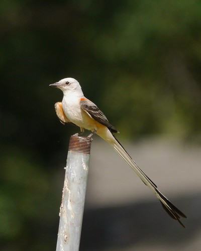Scissor-tailed Flycatcher - 3