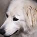 Lily, pyrenean mountain dog, Portrait by JW Asturias