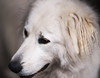 Lily, pyrenean mountain dog, Portrait