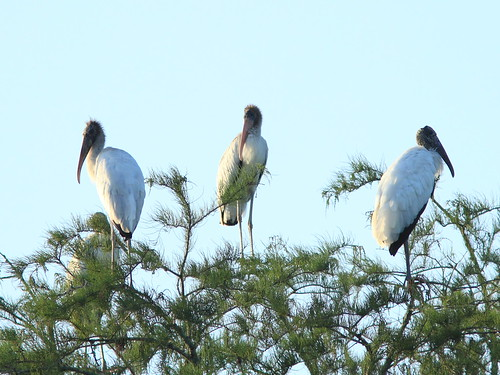 Wood Stork immatures and adult 20150722