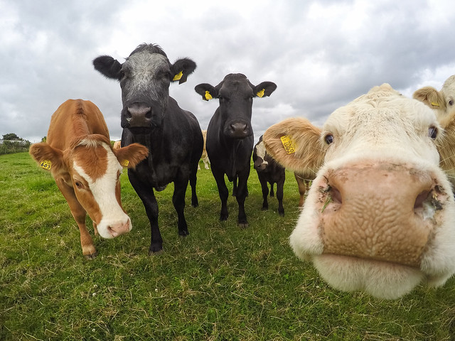cow, funny, gopro, sunny